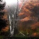 Fall leaves fog 026c