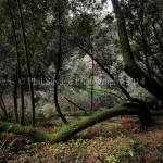 Muir Woods 011b