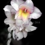 closeup flowere July12 2011 027c