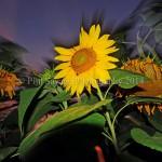 sunflowerAug5 09 038a