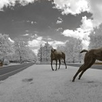 Belle Meade horses 2013-7ba
